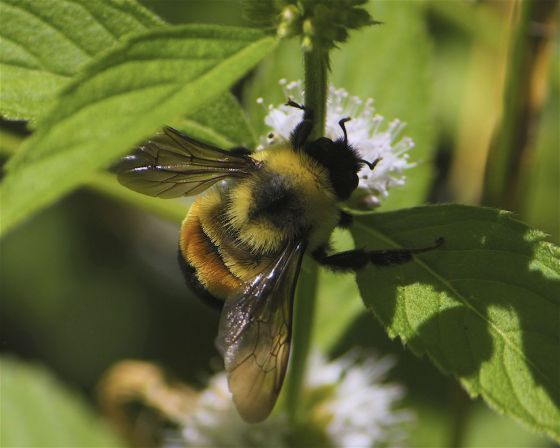 rusty-patched-bumble-bee-endangered-jpg-990x0_q80_crop-smart